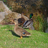 Three wild ducks near a little fall Royalty Free Stock Images