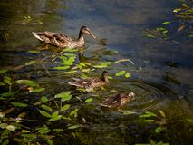 Three wild ducks swimming and diving in a small pond stock images