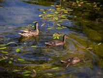 Three wild ducks swimming and diving in a small pond royalty free stock photos