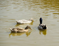 Three wild ducks swimming in the pond.  Royalty Free Stock Photos