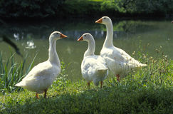 Three wild geese at the waterline Royalty Free Stock Photo