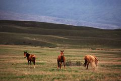 Three wild horses Royalty Free Stock Images