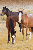 Three Wild Horses. Wild Mustang Horses in Field Grazing in Afternoon Light, Virginia City Foothills, Nevada Royalty Free Stock Photography