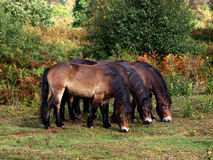 Three Wild Horses Stock Photos
