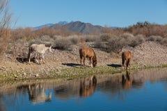 Three Wild Horses Along the Salt River Stock Photography