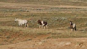 Three Wild Horses Royalty Free Stock Photography