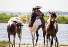 Three wild horses on beach Royalty Free Stock Photography