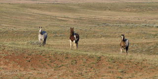 Three Wild Horses Royalty Free Stock Photography