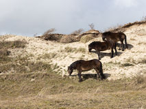Three wild horses in the dunes grazing grass Stock Images