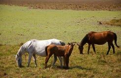 Three wild horses in the field royalty free stock photos