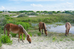 Three wild horses grazing. Three wild horses descendant of Spanish Mustangs feed on the grasses of the dunes in Corolla, North Carolina in the Outer Banks Royalty Free Stock Photography