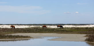 Three wild Horses grazing between the dunes of an island stock photos