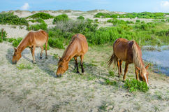 Three wild horses grazing in the sand dunes. The wild horses are descendants of Spanish Mustangs from ship wrecks in the 16th Century that roam freely in the Stock Photo