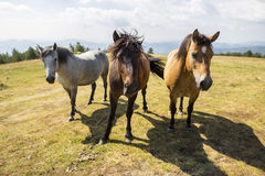 Three wild horses in the mountain Royalty Free Stock Image