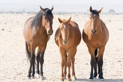 Three wild horses of namib desert Royalty Free Stock Photo