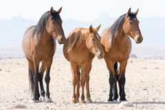 Three wild horses namibia Royalty Free Stock Images