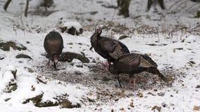 Three Wild Male Turkeys in winter snow stock image