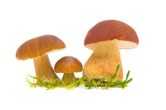 Three wild mushroom (Boletus pinophilus) close-up. Three wild mushroom (Boletus pinophilus) closeup on white background Stock Photo