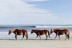 Three Wild Mustangs on a Beach. Three wild horses walking along the beach in Corolla, NC Royalty Free Stock Photography