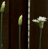 Three Wild Onion Plants in Bloom Stock Photography