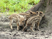 Three wild pigs. Three young wild boars in action Stock Images