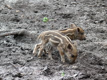 Three wild pigs. Two young wild boars in action Royalty Free Stock Photos