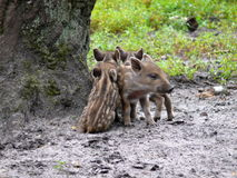 Three wild pigs. Three young wild boars in the forest Royalty Free Stock Images