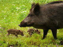 Three wild pigs. Three wild boars in the forest Stock Photos