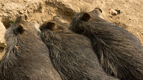 Three wild pigs sleeping next to each other Royalty Free Stock Photo