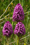 Three wild Pyramidal Orchid plants - Anacamptis pyramidalis. Three wild Pyramidal Orchid Anacamptis pyramidalis fully bloomed inflorescences over a natural green Royalty Free Stock Photo