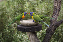 Three Wild Rainbow Lorikeets Trichoglossus Moluccanus at Feeder Stock Photo