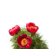 Three wild red peony with green leaves. On a white background Royalty Free Stock Image