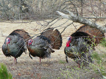 Three wild turkey in breeding plumage. Colorful, noisy, bold male wild turkey compete for females attention. Wandering in the brush on the island of Plum Island Royalty Free Stock Photography