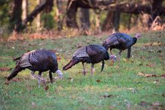Three Wild Turkeys. Foraging for food in field in fall Royalty Free Stock Photography