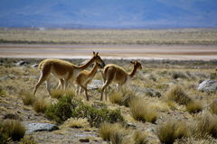 Three wild Vicunas Stock Photo