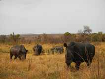 Three wild white rhinoceros at Kruger national park, South Africa Stock Image