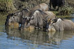 Three wildebeest Stock Photography
