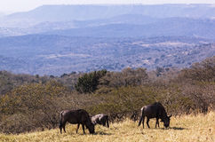 Three Wildebeest Grazing on  Grassy hillside Overlooking Hills Royalty Free Stock Photography