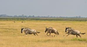 Three Wildebeest on the run Stock Photos