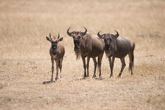 Three wildebeest stand staring at the camera Royalty Free Stock Photo