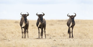 Three Wildebeests Royalty Free Stock Photos