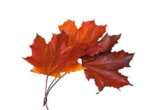 Three wilted red Maple leaves Royalty Free Stock Photos