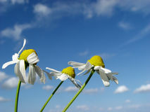 Three in the wind. Wild camomiles Stock Photo