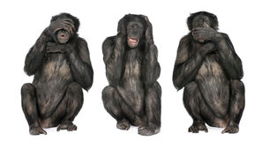Three Wise Monkeys : Chimpanzee - Simia troglodyte Stock Photography