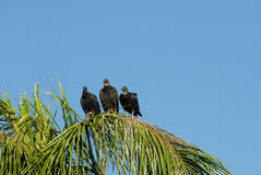 Three Wise Vultures Royalty Free Stock Photo