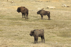 Three wisents in the grassland Royalty Free Stock Photography