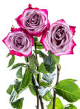 Three withering roses Royalty Free Stock Photography