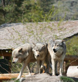 Three wolves. A trio of timber wolves standing together Stock Photography