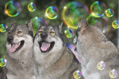 Three wolves. Stock Images