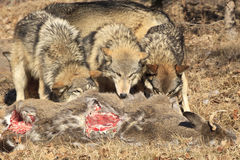Three wolves feeding on deer carcass Royalty Free Stock Image